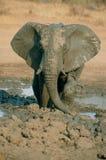 Elefant im Schlamm Stockfoto