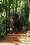 Elefant im tropischen Wald Lizenzfreies Stockbild
