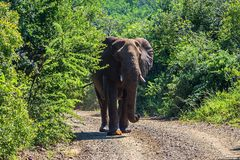 Elefant im vollen Wachstum, wandernd auf theElephant im vollen Wachstum und wandern auf die Straße Safari in den Nationalparks vo stockbild