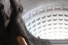 Elefant im Washington-Naturgeschichte-Museum Lizenzfreies Stockbild