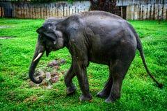 Elefant im Zoo, Rangun Stockfoto
