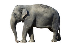 Elefant isolated Royalty Free Stock Photography
