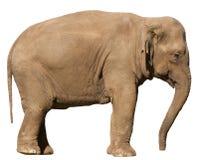 elefant isolerad profil Arkivbild