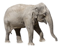 elefant isolerad white Royaltyfri Fotografi