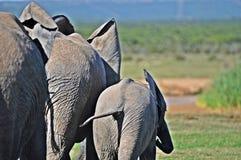 Elefant-Kühe und Junge Lizenzfreies Stockbild