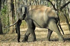 Elefant Kabani Stier auf Weg Stockfoto