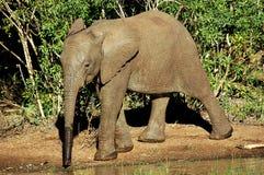 Elefant-Kalb Lizenzfreies Stockfoto