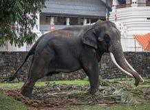 Elefant in Kandy-perahara stockfotos