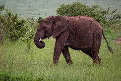 elefant kenya Royaltyfri Bild