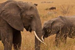 elefant kenya Arkivfoton