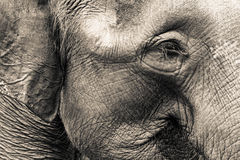 Elefant-Kopf Lizenzfreie Stockfotos