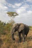 Elefant in Kruger stockbild