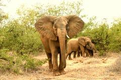 Elefant Kuh und calfes Lizenzfreie Stockfotos