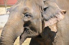 Elefant-Lächeln Lizenzfreies Stockbild