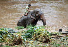 ELEFANT-LAGER ASIENS THAILAND CHIANG Stockfotos