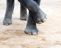 Elefant legs Royalty Free Stock Photos