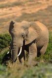 Elefant (Loxodonta africana) Stockfoto