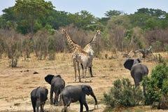 Elefant Loxodontaafricana, i den Hwange nationalparken, Zimbabwe royaltyfria foton