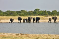 Elefant Loxodontaafricana, i den Hwange nationalparken, Zimbabwe arkivbild