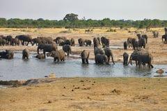 Elefant Loxodontaafricana, i den Hwange nationalparken, Zimbabwe Arkivfoto