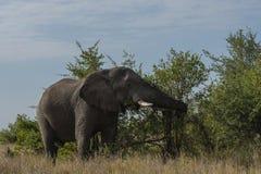 Elefant Loxodontaafricana som äter från busken fotografering för bildbyråer