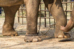 Elefant med ben i kedjor Arkivbilder