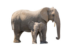 Elefant med calw som isoleras på vit bakgrund Arkivfoton