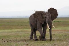 Elefant med en fågel på hans baksida som går på savannahen Fotografering för Bildbyråer