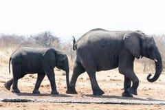 Elefant med kattungen Fotografering för Bildbyråer