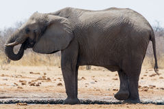 Elefant med stammen i mun Royaltyfria Bilder