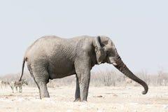 Elefant med stammen upp Fotografering för Bildbyråer