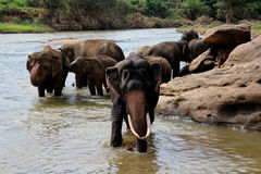 Elefant med stora beten som står på floden Arkivbilder