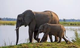 Elefant mit Baby nahe dem Sambesi sambia Senken Sie Nationalpark Sambesis Der Sambesi Lizenzfreies Stockfoto