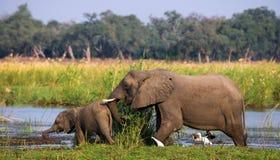 Elefant mit Baby nahe dem Sambesi sambia Senken Sie Nationalpark Sambesis Der Sambesi Stockbild