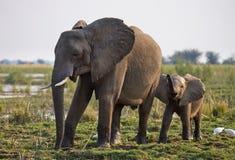 Elefant mit Baby nahe dem Sambesi sambia Senken Sie Nationalpark Sambesis Der Sambesi Stockfoto