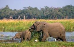 Elefant mit Baby nahe dem Sambesi sambia Senken Sie Nationalpark Sambesis Der Sambesi Lizenzfreie Stockbilder
