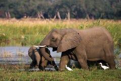 Elefant mit Baby nahe dem Sambesi sambia Senken Sie Nationalpark Sambesis Der Sambesi Stockfotografie