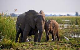 Elefant mit Baby nahe dem Sambesi sambia Senken Sie Nationalpark Sambesis Der Sambesi Lizenzfreie Stockfotografie