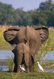 Elefant mit dem Baby, das den Fluss Sambesi kreuzt sambia Senken Sie Nationalpark Sambesis Der Sambesi Stockbild
