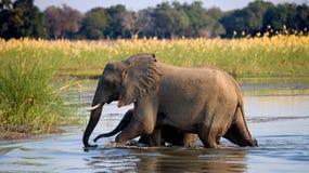 Elefant mit dem Baby, das den Fluss Sambesi kreuzt sambia Senken Sie Nationalpark Sambesis Der Sambesi Lizenzfreies Stockfoto