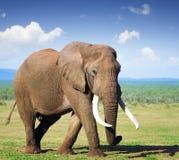 Elefant mit den großen Stoßzähnen Stockfotografie