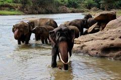 Elefant mit den großen Stoßzähnen, die in dem Fluss stehen Stockbilder