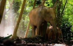Elefant mit den großen Stoßzähnen Stockfoto