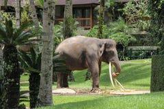 Elefant mit den langen Stoßzähnen isst bei an Ort und Stelle stehen Stockfotografie