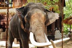 Elefant mit Feld Stockbilder