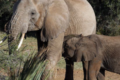 Elefant mit Kalb Stockfoto