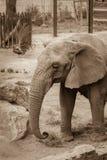 Elefant mit Pfaus im Hintergrund im Zoo Lizenzfreie Stockfotos