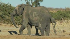 Elefant mit Schätzchen stock video footage