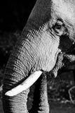 Elefant mit Stamm Lizenzfreies Stockbild