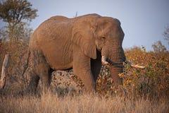 Elefant in Mopani Bush Stockfotografie